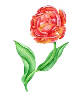 Watercolor tulip flower