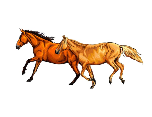 水彩水彩画の手描きのスケッチのスプラッシュから2頭の馬がギャロップを実行します。白の塗料のベクトルイラスト