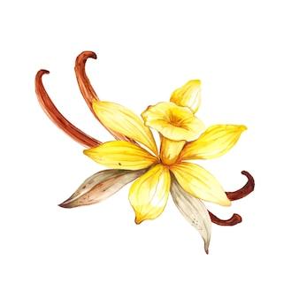白で隔離の水彩バニラの花