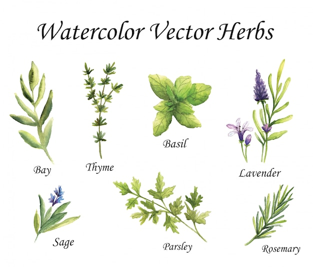 Watercolor vector herbs