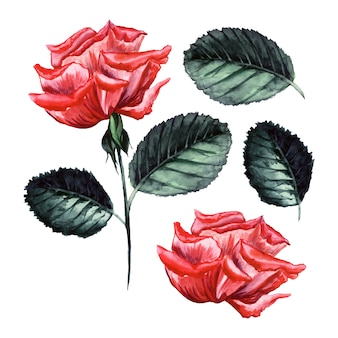 Watercolor vector rose, detailed illustration, isolated flower bud, leaves elements.