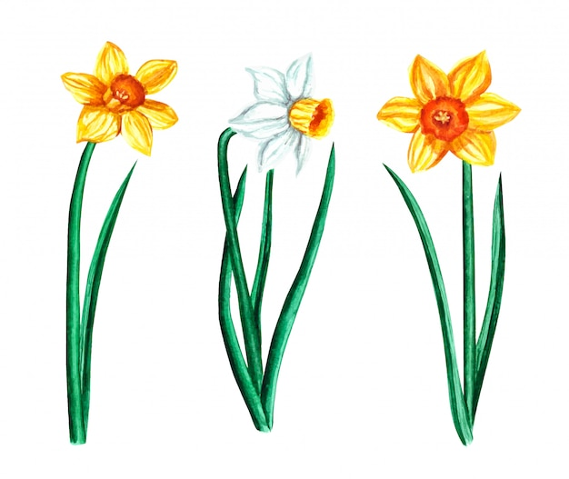 Watercolor vector set with colorful spring flowers, narcissus isolated on white
