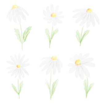 Watercolor white daisy collection   isolated