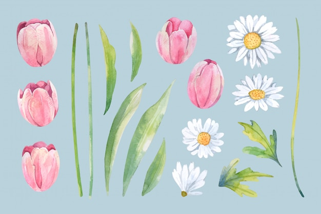 Watercolor white daisy and pink tulip flower arrange isolated