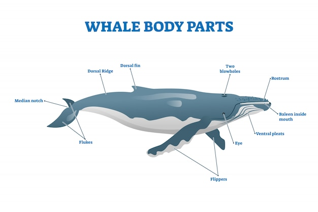 Whale body parts  illustration. labeled educational mammal structure.