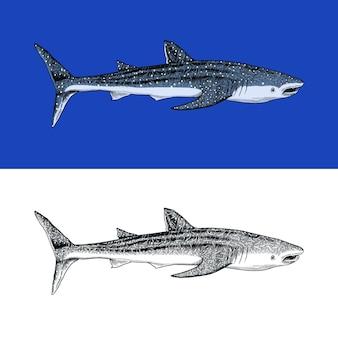 Кит или синяя акула морской хищник животное морская жизнь рисованной старинный гравированный эскиз океанская рыба