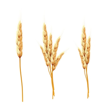 Wheat. bunch of wheat ears and seed isolated