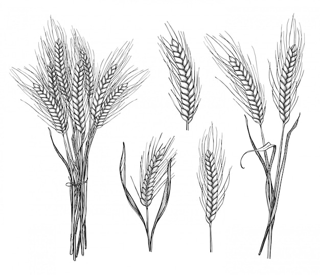 Wheat ear hand drawn sketch set