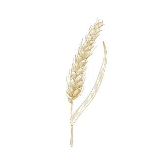 Колосья пшеницы или колоск, изолированные на белом фоне