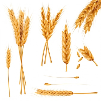 Wheat ears and seeds realistic vectors collection
