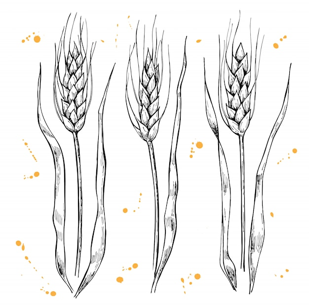 Wheat ears drawing