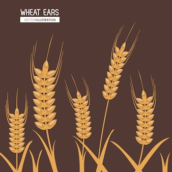 Wheat ears, farm and agriculture concept, ve