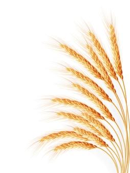 Колосья пшеницы, изолированные на белом фоне.