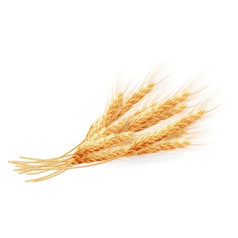 Wheat ears isolated on white background, agricultural illustration.