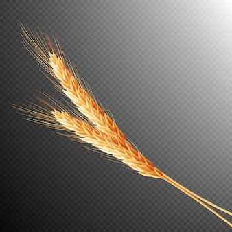Wheat ears isolated.