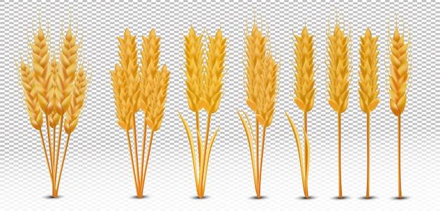 Колосья пшеницы с набором зерен