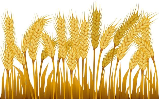 Поле пшеницы для иллюстрации сельского пейзажа на белом фоне