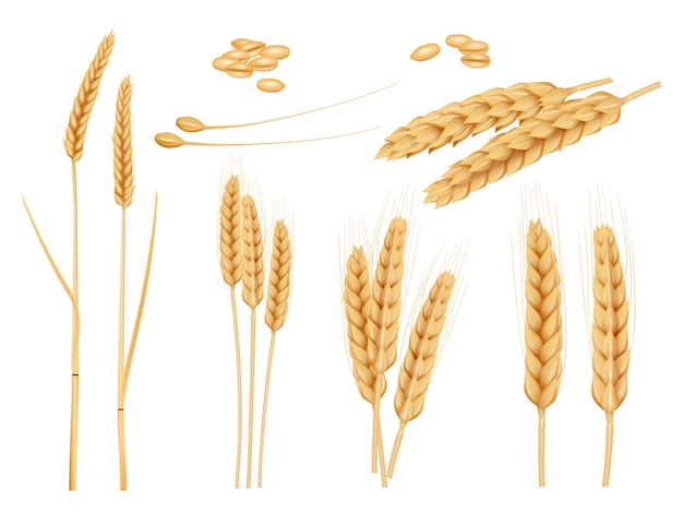 Wheat grains. agricultural collection of healthy organic food harvesting plants barley  pictures