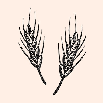 Пшеница, растение. элемент пивоварни. крафтовое пиво. октоберфест монохромный рисунок.