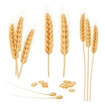 Wheat realistic. agriculture healthy organic food golden grain wheat collection