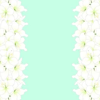 白いアマリリスボーダー