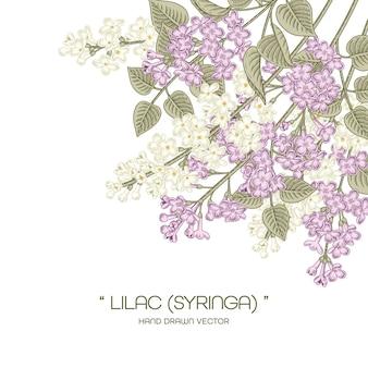 흰색과 보라색 수수 꽃 다리 속 vulgaris (일반 라일락) 꽃 그림.