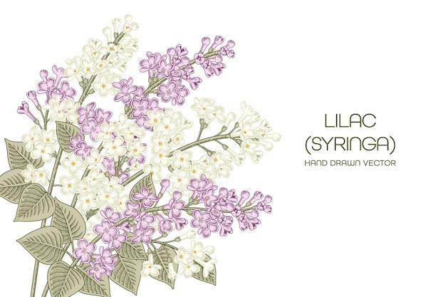 흰색과 보라색 수수 꽃 다리 속 vulgaris (일반 라일락) 꽃 손으로 그린 그림