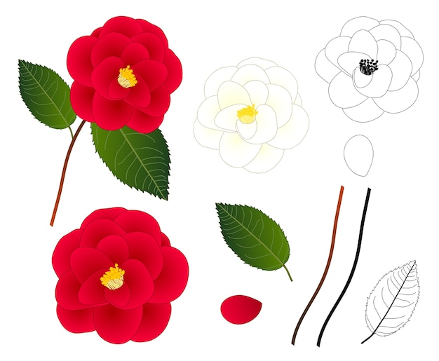 白と赤のカメリアの花の輪郭