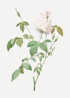 White bengal rose in bloom