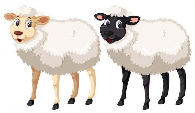White and black sheep on white background