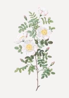 White burnet roses