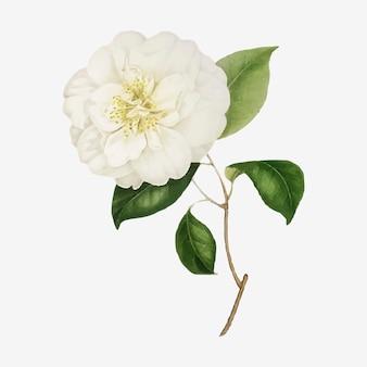 화이트 동백 장미 꽃