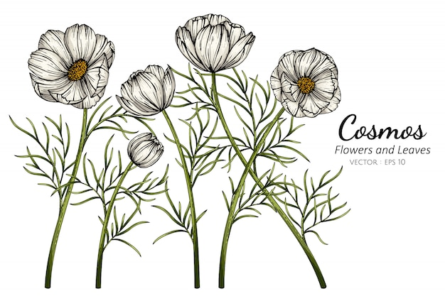 White cosmos flower and leaf drawing illustration with line art on white backgrounds.