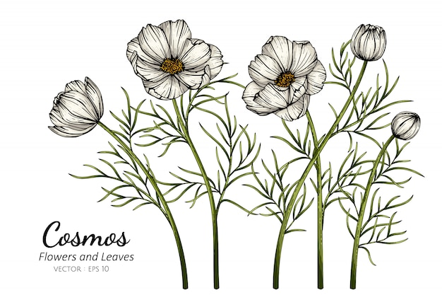 White cosmos flower and leaf drawing illustration