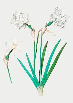 White daffodil in vintage style