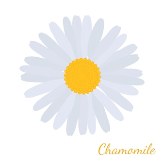 White daisy chamomile, herbal cosmetics plant