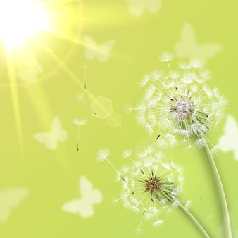 White dandelions with summer sun background