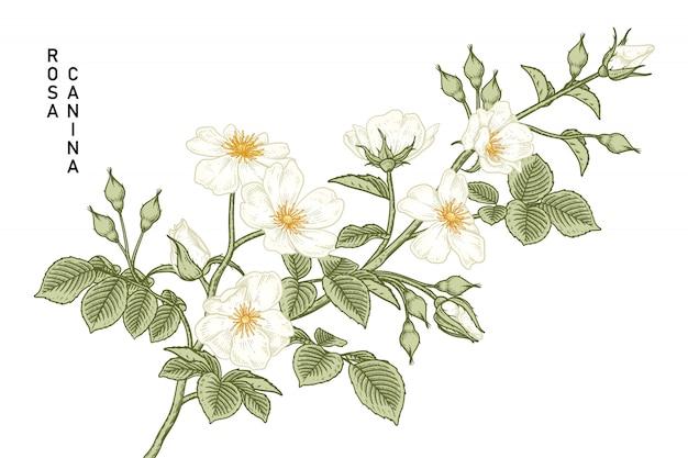 White dog rose rosa canina flower drawings