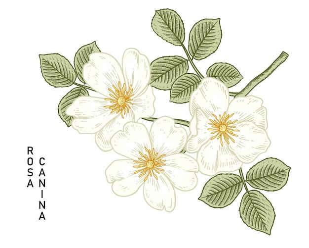 화이트 개 장미 (로사 canina) 꽃 손으로 그린 식물 삽화.