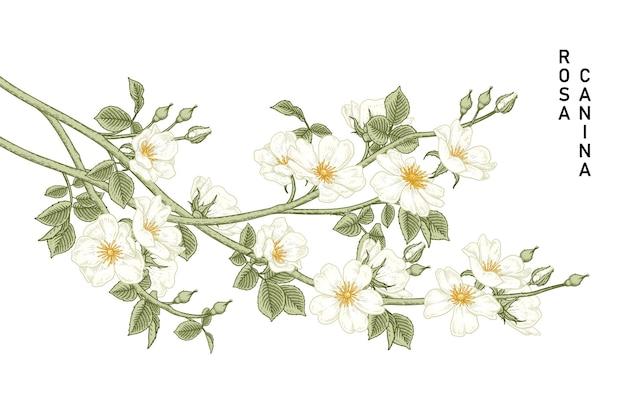 Белый шиповник (rosa canina) цветок рисованной ботанические иллюстрации.