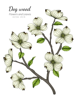 White dogwood flower and leaf drawing illustration with line art on white backgrounds.