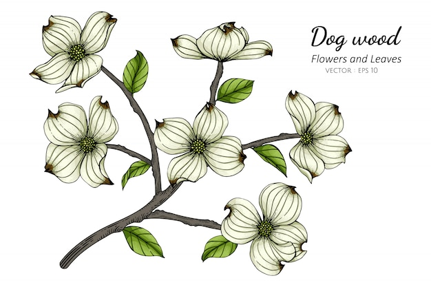 White dogwood flower and leaf drawing illustration with line art on white