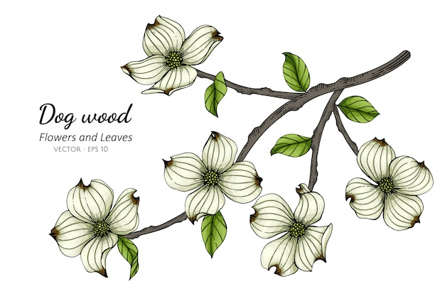 White dogwood flower and leaf drawing illustration with line art on whites.