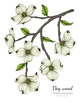 White dogwood flower and leaf drawing illustration