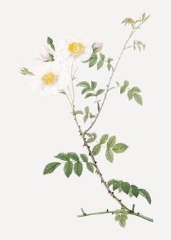 White field roses