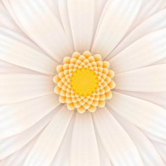 White gerbera flower in bloom