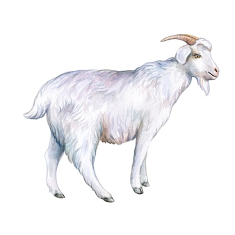 White goat isolated on a white background watercolor illustration