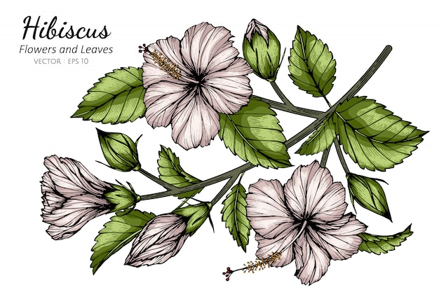 White hibiscus flower and leaf drawing illustration