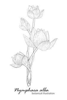 흰 백합, 꽃꽂이. 식물 삽화