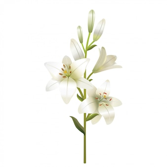 White lily. isolated on a white